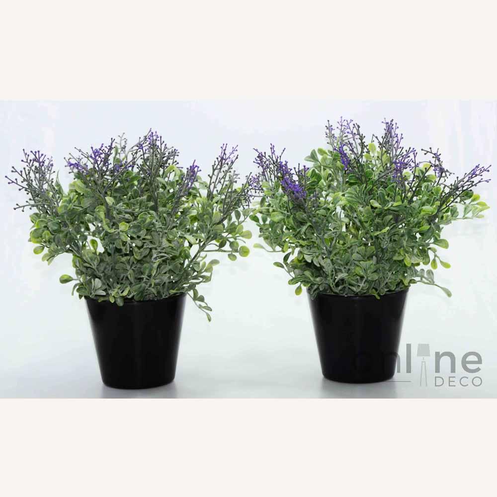 violeta web OLR